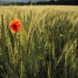 Royalty-Free Stock Photo: Lonely poppy in a wheatfield view from far