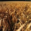 Wheat field ready for harvest — Stock Photo