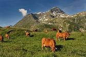 Kor i berg — Stockfoto