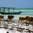 Stock Photo: Cow in zanzibar