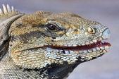 Olho de iguana — Fotografia Stock