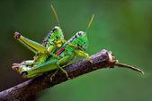 Véritable amour de sauterelles — Photo