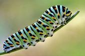 зеленая гусеница на фенхель — Стоковое фото