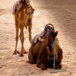 Two camels — Stock Photo
