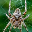 Araneus Angulatus — Stock Photo