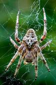 Araneus angulatus — Foto Stock