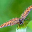 Front of wild brown orange butterfly — Stock Photo