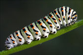 Caterpillar of Papilionidae in the fennel — Stockfoto