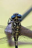 Back of wild black yellow dragonfly — Stock Photo