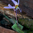 Erythronium  dens canis — Stock Photo