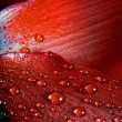 Red texture  rose  — Stock Photo