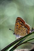 Wild orange butterfly — Stock Photo