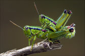 Grasshopper having sex — Stock Photo