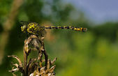 Web and anax imperator — Stock Photo