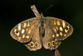 Rear of wild brown grey orange butterfly — Stock Photo