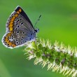 Grey orange butterfly — Stock Photo