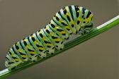 Gąsienica dzikiego kopru włoskiego oddziału — Zdjęcie stockowe
