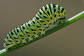 Wild caterpillar fennel branch — Stock Photo