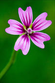 Violet malva — Stock Photo