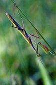 Mantodea bouchent — Photo