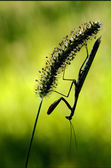 Schatten Gottesanbeterinnen hautnah — Stockfoto