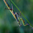 Stock Photo: Mantodeclose up praying mantis