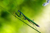 Praying mantis mantodea on green — Stock Photo