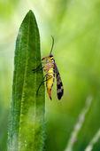 Mecoptera Scorpion Fly Panorpa Panorpidae — Stock Photo