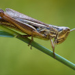 Brown  grasshopper   chorthippu - Stock Photo
