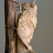 Orthopterous in a - Stock Photo