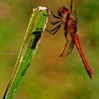 Lack red dragonfly anax imperator Sympetrum Fonscolombii — Stock Photo