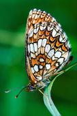 Papillon sur un green — Photo