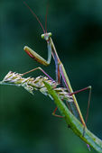 Mantodea in the flowering bush — Stockfoto
