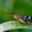 Scorpion Fly Panorpa Panorpidae - Stock Photo