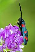 Selvaggio zygaenidae volare in fiore — Foto Stock