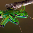 Grasshopper   having sex - Stock Photo