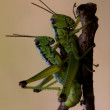 Close up of two grasshopper Orthopterous having sex o - Stock Photo
