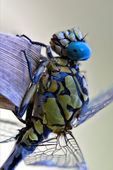 Dragonfly anax imperator — Stock Photo