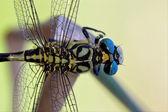 Dzikie czarne ważka żółta anax imperator na — Zdjęcie stockowe