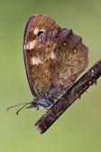 Brown grey orange butterfly — Stock Photo