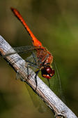 Wild red dragonfly on — Stock fotografie