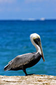 Little white black pelican — Stock Photo