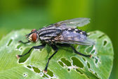 Musca domestica in leaf — Stock Photo