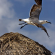 Stock Photo: White black segull flying in straw
