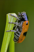 The side of wild red cercopidae vulnerata — Stock fotografie