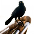 black crow — Stock Photo