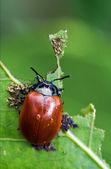 Red cercopidae coccinellidae anatis ocellata coleoptera — Stock Photo
