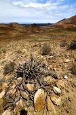 In los volcanes lanzarote spain plant flower bush — Stock Photo