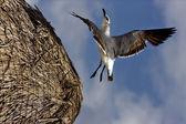Black sea gull flying in straw — Stock Photo