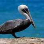 White black pelican whit black eye — Stock Photo #36108467